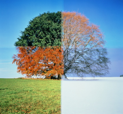 Beech tree through four seasons (digital Composite)